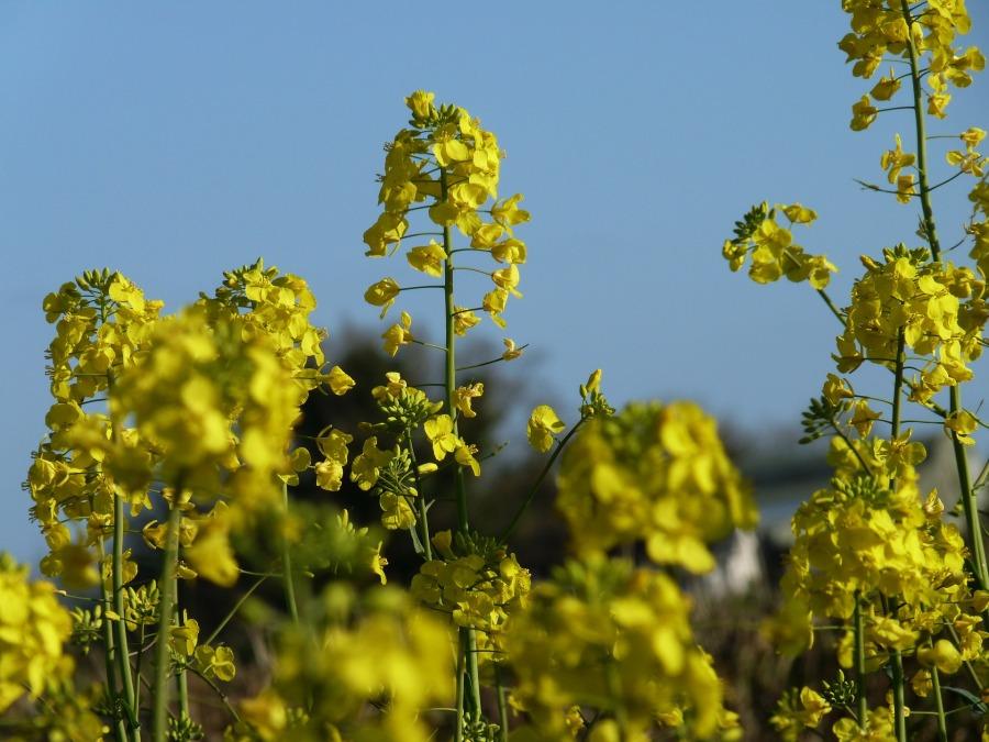 mustard-325599_1920